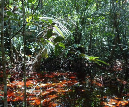 World's most expansive peatlands found in Congolese swamps