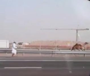 Family films man chasing camel down Abu Dhabi road