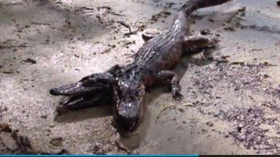 Two-headed alligator spotted in Florida?