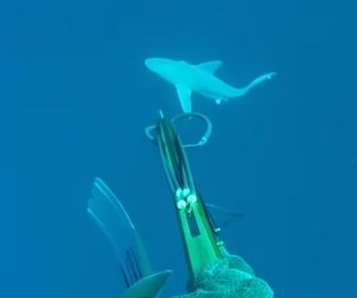 Shark chases spear fisherman back to boat in Florida