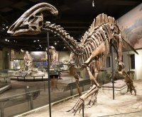 Skull reveals evolutionary origins of tube-crested dinosaur's unusual airways