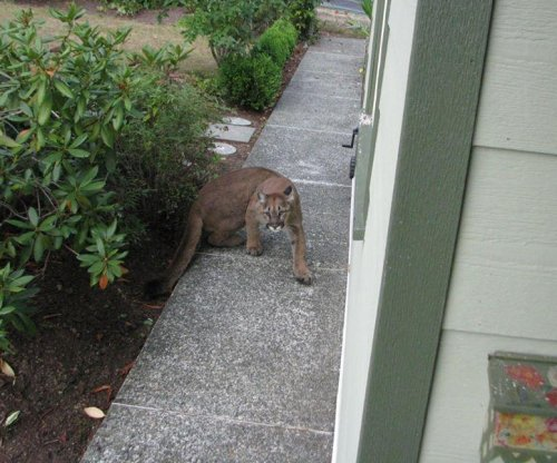 Cougar spotted near Canadian home