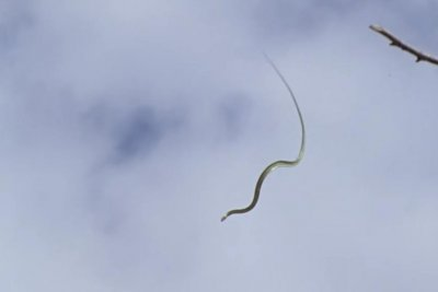 Researchers: Asian flying snakes wriggle their bodies for stability