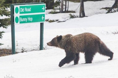 Grizzly bear invades Canadian skiing ceremony