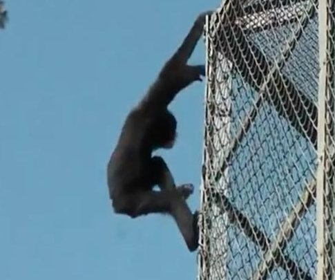 Gibbon's zoo enclosure escape caught on camera