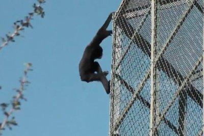 Gibbon's zoo enclosure escape caught on camera