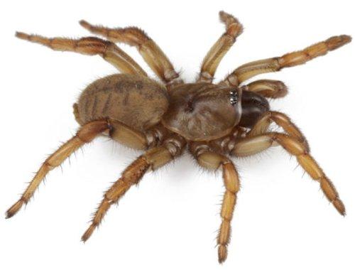 New species of trapdoor spiders described