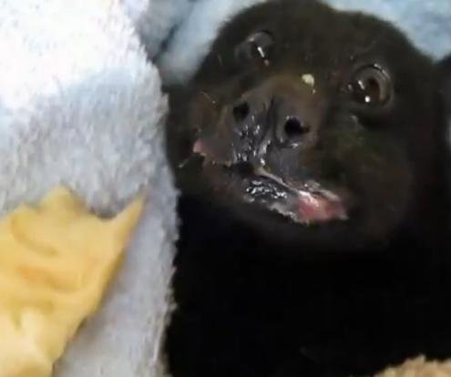 Rescued Australian fruit bat has a banana bonanza