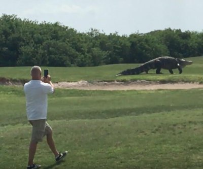 Huge alligator filmed strolling across Florida golf course