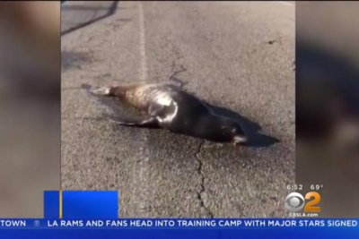 Sea lion recovering after collapse on Los Angeles street