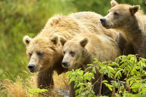 Ecologists: Alaska wildlife management threatens state's largest carnivores