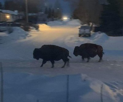 Herd of escaped bison wander Canadian town