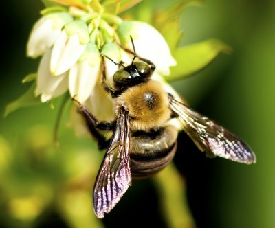 Bumblebee flight patterns altered by pollen load
