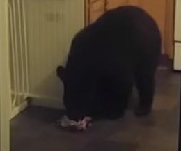North Carolina family wakes to find bear stealing candy in kitchen