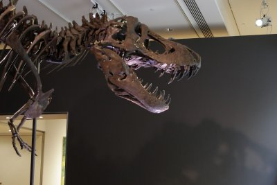 Bite of juvenile T. rex was less ferocious than an adult tyrannosaurus