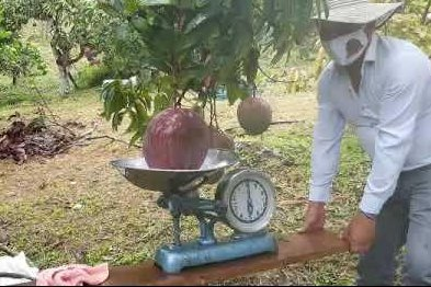 Colombian farmers break Guinness record with 9.36-pound mango