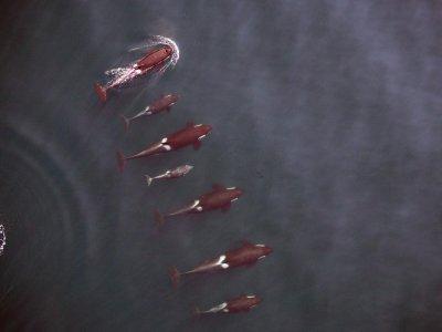 NOAA, Vancouver Aquarium document killer whales using drone