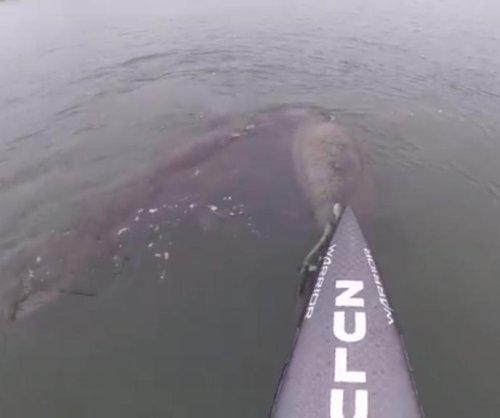 Manatees visit paddleboarders off Florida coast