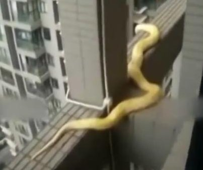 Python rescued from outside 19th floor of Chinese skyscraper