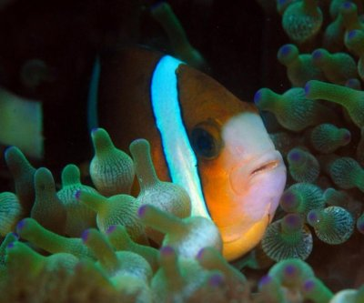 UV vision helps anemonefish find their friends