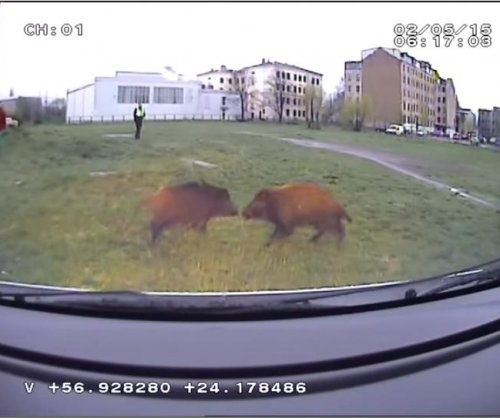 Latvian police chase wild boars through capital