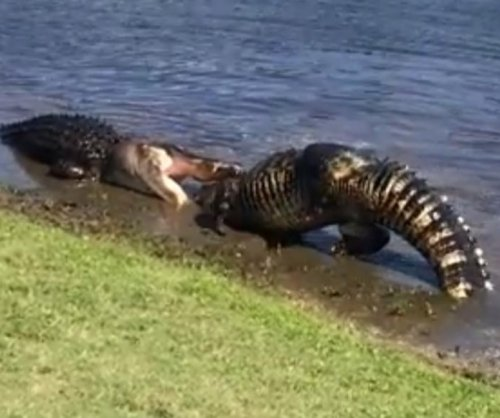 Massive alligators do battle on North Carolina golf course