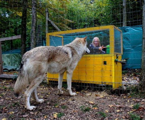 Study finds wolves understand cause and effect better than dogs