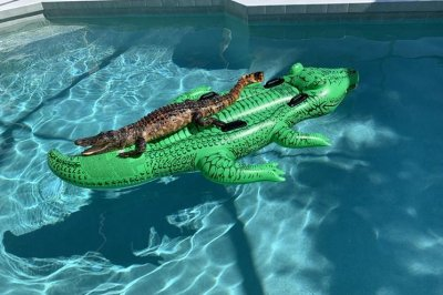 Alligator found relaxing on inflatable gator pool toy