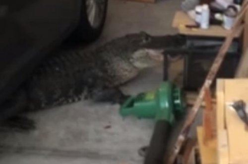 Alligator found wedged under car in Florida garage