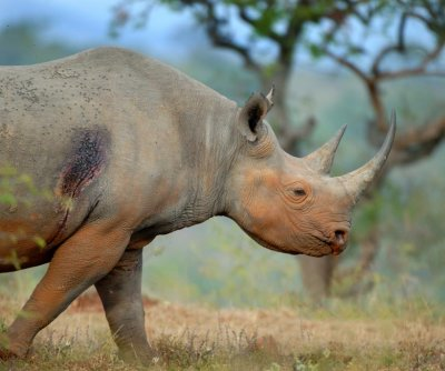 Bird companions help black rhinos avoid poachers