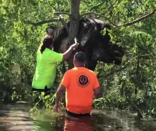 Cow rescued from Louisiana tree after Hurricane Ida