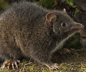 New marsupial species fights ferociously for sex, then dies