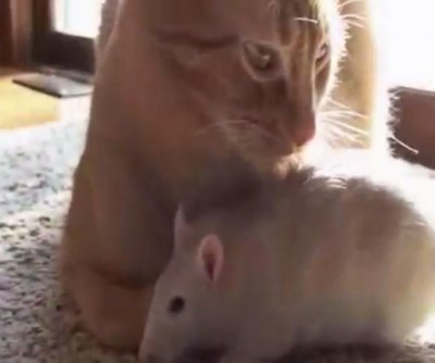 Cat forms unlikely close bond with owner's pet rat
