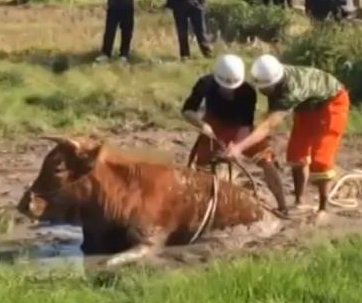 Cow rescued after sinking into bog in China