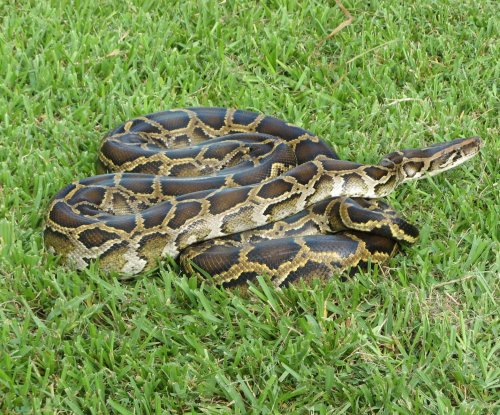 43 Burmese pythons weighing 2,000 pounds found in South Florida