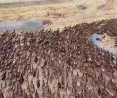 Watch: Thousands of ducks let loose on Thailand rice paddies to clear out bugs