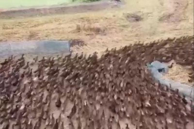 Watch:-Thousands-of-ducks-let-loose-on-Thailand-rice-paddies-to-clear-out-bugs