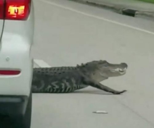Alligator weaves through traffic on Florida street