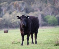 Loose cow in Massachusetts captured after six months