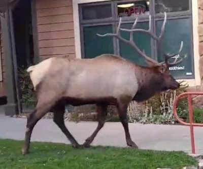 Seven female elk lead bull through Colorado strip mall
