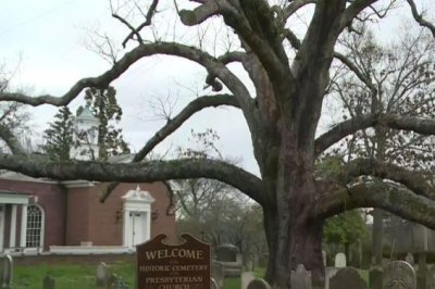 George Washington picnicked here: 600-year old tree to fall
