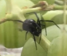 Connecticut woman finds black widow spider in grapes