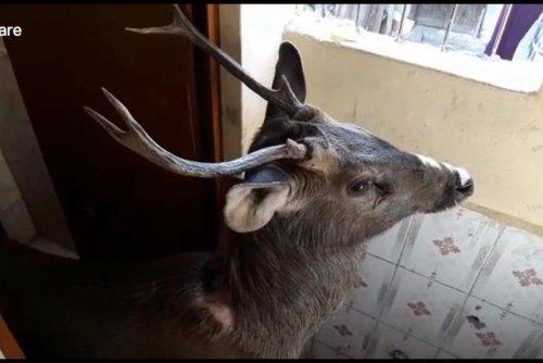 Deer rescued from inside school in India