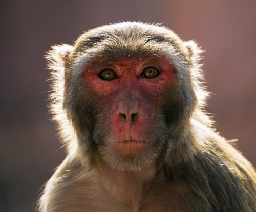 Rhesus monkeys in Puerto Rico remain vital to research