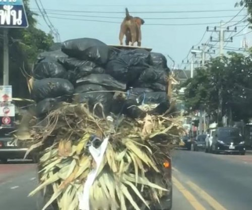 Dog goes 'truck surfing' atop large load on Thailand road
