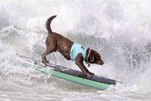 Dog-abunga! Surf Dog contest draws dogs to waves