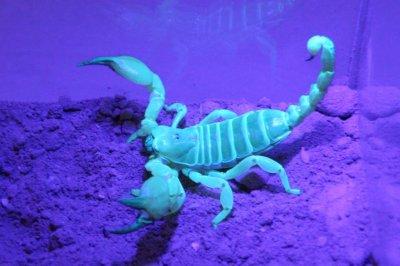 Burrow-building scorpions have consistent tastes