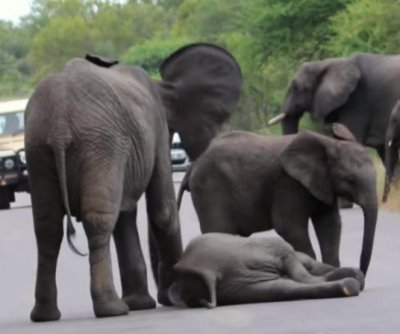 Elephants come to the rescue of collapsed calf in South Africa