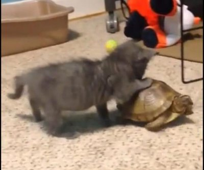 Curious blind kitten chases pet turtle around the room