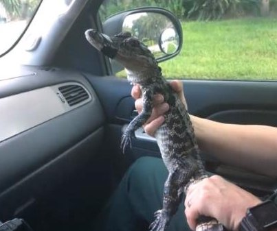 Deputies remove alligator from woman's front door step